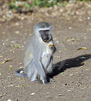 Vervet Monkey Stock Photography - Image: 19304082