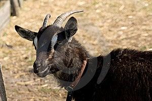 Black Horny Goat Stock Photography - Image: 19314642