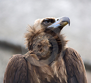 Bird Of Prey Royalty Free Stock Image - Image: 19318076