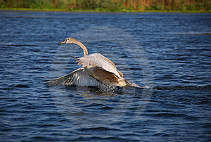 Little Swan Stock Image - Image: 19319681