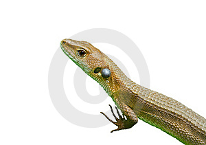 Lizard 3 Royalty Free Stock Images - Image: 19320449