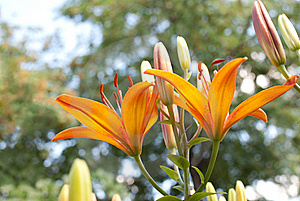 Orange Lily Royalty Free Stock Images - Image: 19326159