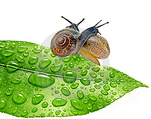 Two Snails On Dewy Leaf Royalty Free Stock Photos - Image: 19327438