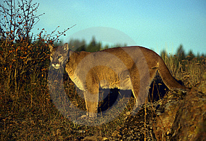 Adult Mountain Lion Royalty Free Stock Photography - Image: 19330037