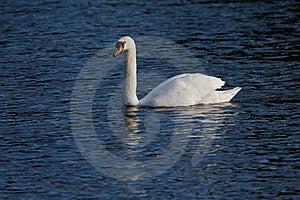 White Swan On Lake Stock Image - Image: 19334601