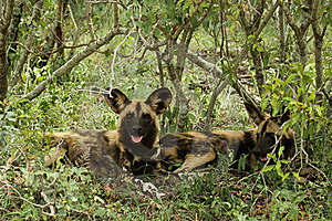 Wild Dog Lycaon Pictus Stock Images - Image: 19342814