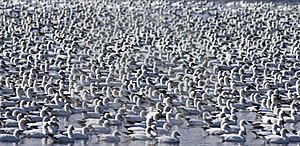 Flock Of Snow Geese Stock Photo - Image: 19350160