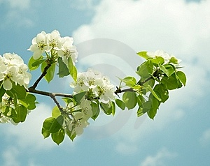 Flowering Branch Of Pear Stock Photos - Image: 19361283