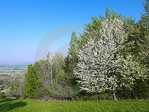 Blossoming Tree Royalty Free Stock Images - Image: 19364079