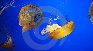 Jellyfish Royalty Free Stock Photography - Image: 19370227
