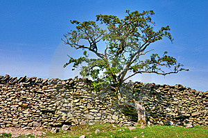 Tree Growing On A Dry Stone Wall Stock Photo - Image: 19373480
