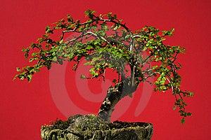 Bonsai Tree Stock Photography - Image: 19380252