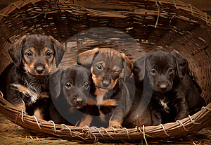 Dachshund Puppies 3 Weeks Old Stock Photography - Image: 19387792