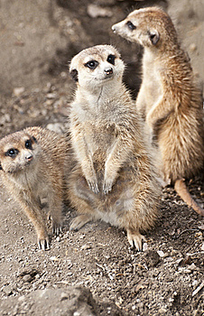 Meerkat Royalty Free Stock Images - Image: 19391699