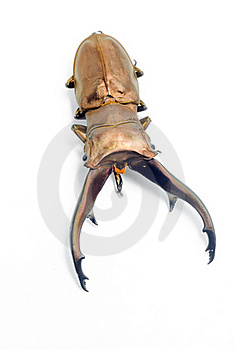 Stag-beetle Stock Photo - Image: 19392360