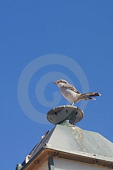 Southern Grey Shrike Stock Images - Image: 19393424
