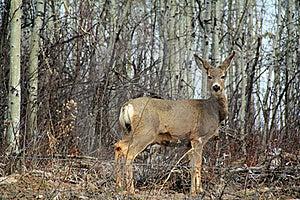 White Tail Deer Royalty Free Stock Image - Image: 19395116