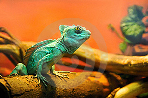 Green Quick Sighted Chameleon Stock Photography - Image: 19398602