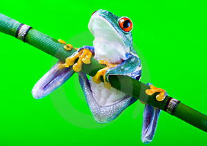Frog Royalty Free Stock Image - Image: 1940626