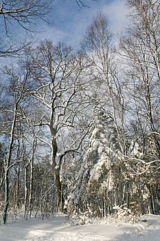 Winter Forest Stock Photography - Image: 1949672