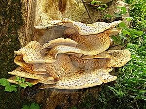 Saddle Mushroom Stock Photography - Image: 19403072