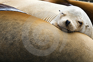 Sea Lions Stock Photos - Image: 19411043