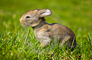 Gray Bunny In Green Grass Stock Image - Image: 19412891