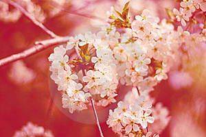 Cherry flowers on tree Stock Image