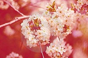 Cherry Flowers On Tree Stock Image