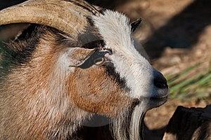 Goat Stock Photos - Image: 19413343