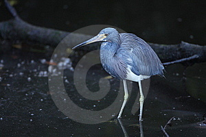 Tricolored Heron Royalty Free Stock Photography - Image: 19414677
