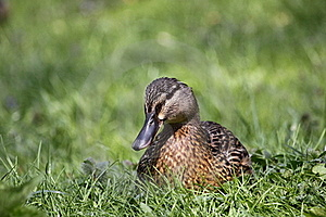 Wild Duck Royalty Free Stock Photos - Image: 19418658