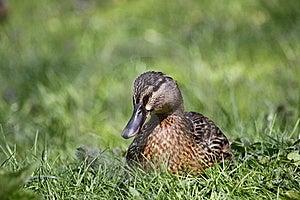 Wild Duck Royalty Free Stock Photos - Image: 19418658