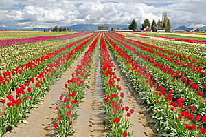 Tulip Field. Royalty Free Stock Photography - Image: 19419767