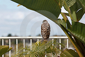 Wild Hawk Stock Photo - Image: 19421650