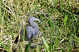 Little Blue Heron Stock Photos - Image: 19422273