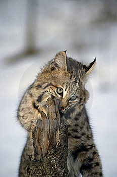 Young Bobcat Stock Photo - Image: 19422710