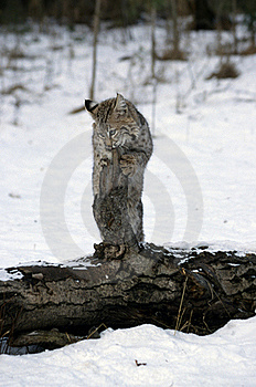 Young Bobcat Royalty Free Stock Photography - Image: 19422717