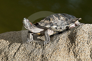 Tortoise On The Rock Royalty Free Stock Photos - Image: 19424778