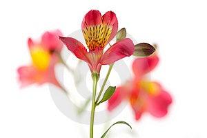 Alstroemeria Flower Stock Image - Image: 19425331