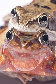 Frog Sex Stock Image - Image: 19425371
