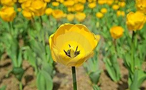 Tulip Yellow Royalty Free Stock Photos - Image: 19429758