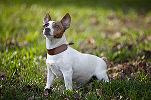 Jack Russel Terrier Stock Photos - Image: 19431763