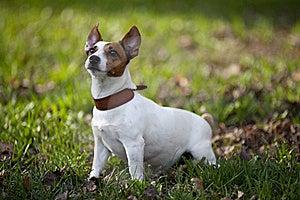 Jack Russel Terrier Stock Photos - Image: 19431763