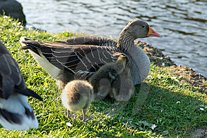 Baby Geese Royalty Free Stock Images - Image: 19432149