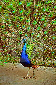 Magnificent Peacock Royalty Free Stock Images - Image: 19438079