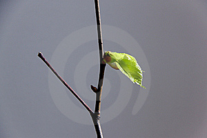 First leaf Royalty Free Stock Photo