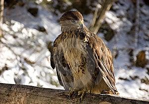 Eagle Royalty Free Stock Photos - Image: 19439028