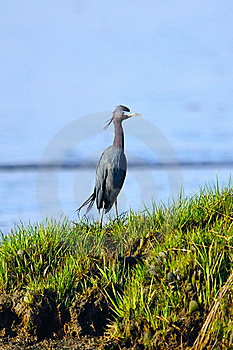 Little Blue Heron Royalty Free Stock Photography - Image: 19439207