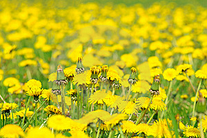 Dandelions Royalty Free Stock Photo - Image: 19439985